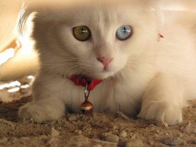 Heterochromic-Eyed-Cat-13_e