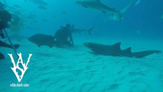 sharksayshi2_e