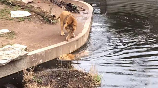 lionfallsinwater5