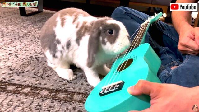 rabbitplaysguitar4_640
