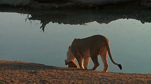 lionbaby4