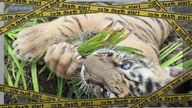 tiger-f_e-frame