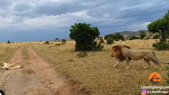 lioness3_e