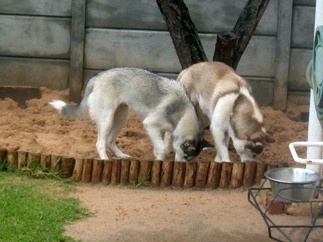 Siberian-Husky-digging_e