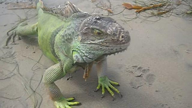 iguanabeach4