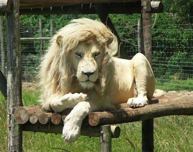 white_lion_e