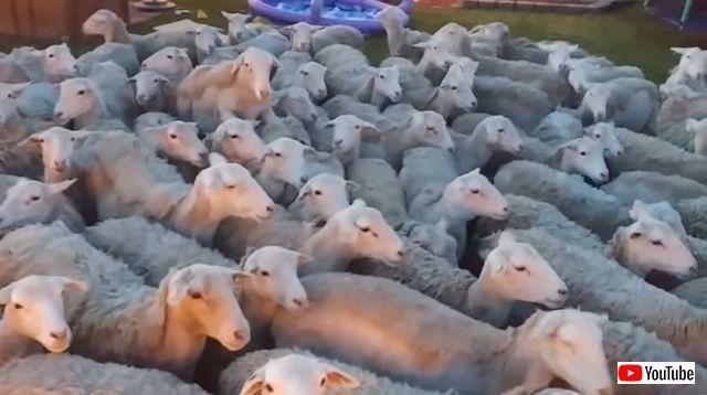 sheep7_batch