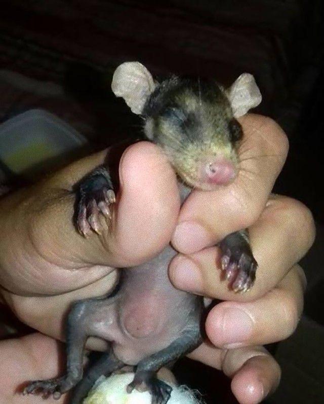 dog-adopts-opossums-baby-orphans-stephanie-maldonado-20_e