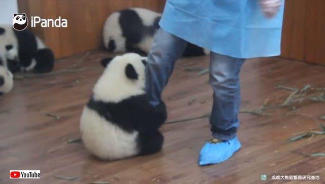 pandacubs1_e