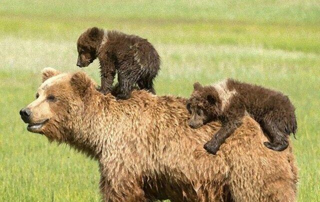 bears0_e