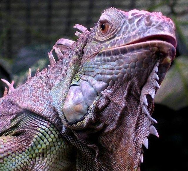 659px-Iguanaiguanacloseupsmalljpg_e
