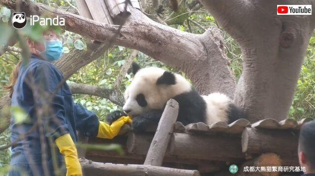 panda1_640