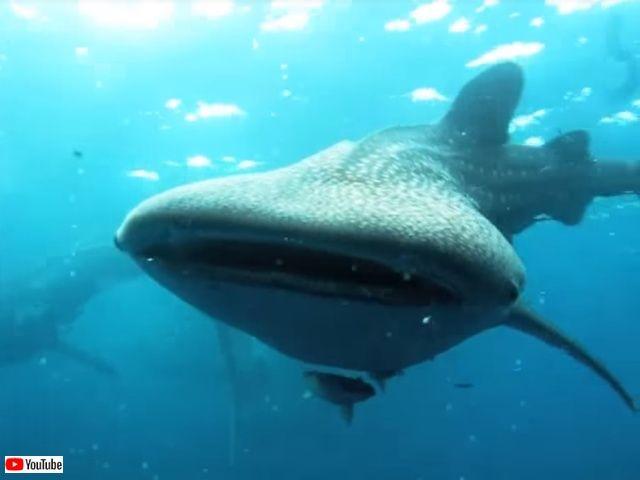 whalesharkattack2_640