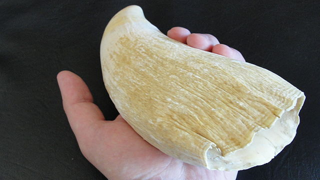 640px-Sperm_Whale_Tooth-1