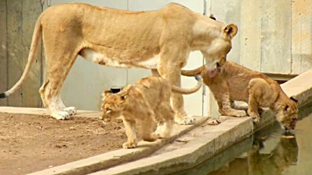 lionmum3