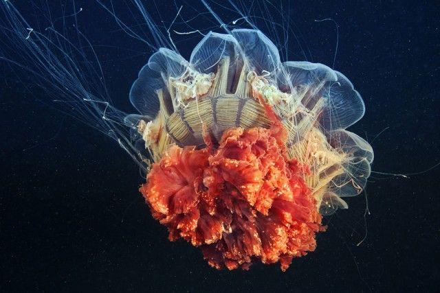 underwater-jellyfish-alexander-semenov-aquatis-18_e