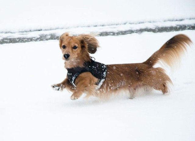 800px-Dachshund_in_snow-1_e