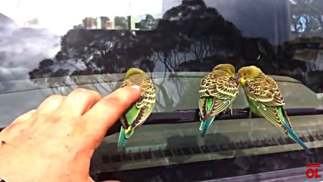 wildbudgies3