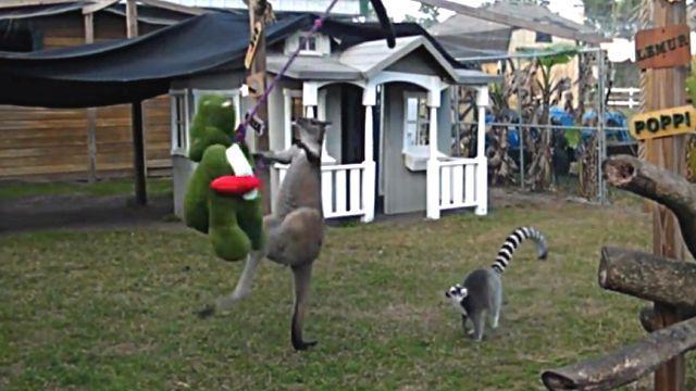 kangaroohippo4