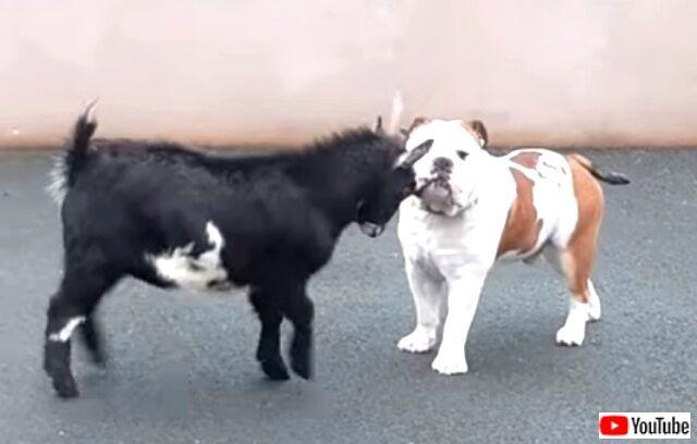 puppyngoat1_640