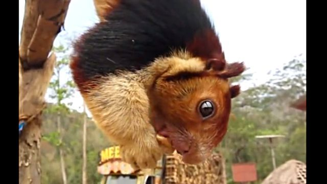 indianGiantSquirrel2