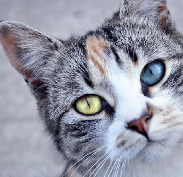 Heterochromic-Eyed-Cat-3_e
