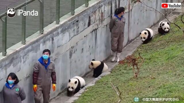 pandaswalking1_640