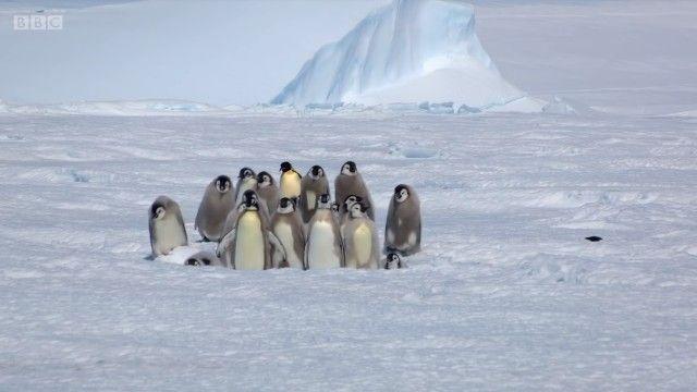 penguinchicks1_e