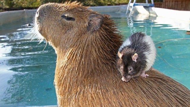 capybara-6_e