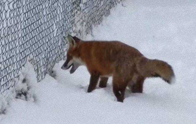 foxinthegarden2_e