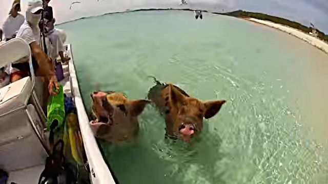 swimmingpig2
