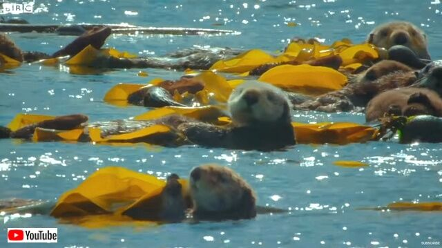 seaotters5_640