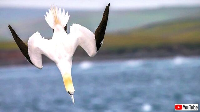 gannet1_640