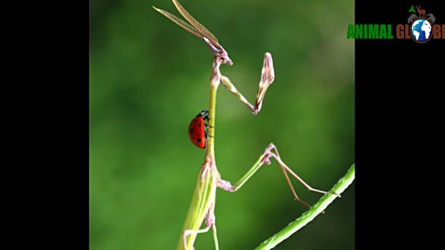prayingmantis13