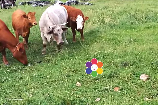 cowturtle1a
