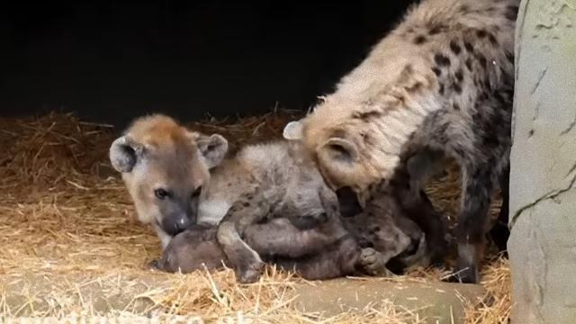hyena-2_e