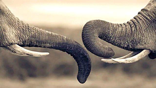 elephant11_ea
