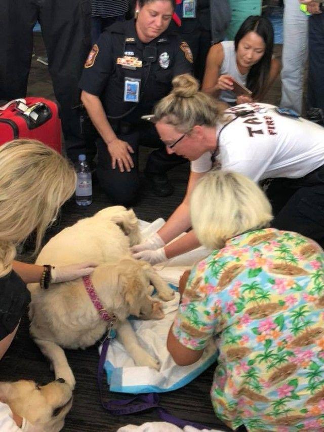 8fhu7-service-dog-gives-birth-at-airport-2_e