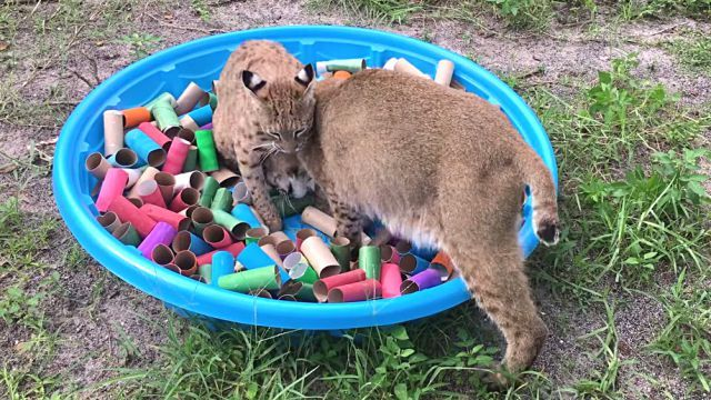 bobcats3