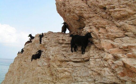 goat-10_e