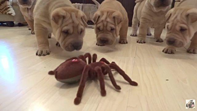 puppiesvsspider2