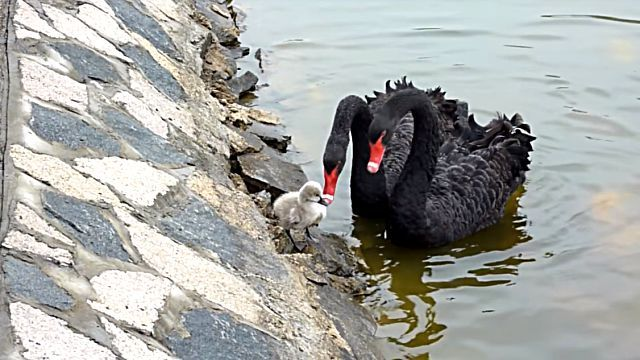 blackswan0