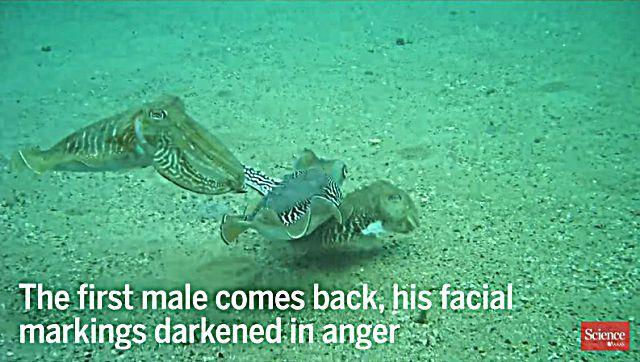 cuttlefish6