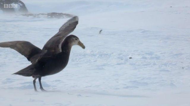 penguinchicks3_e