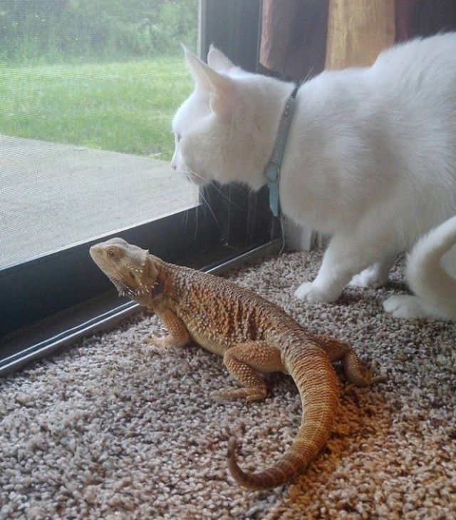 03-bearded-dragon-cat-friendship-664x756_e