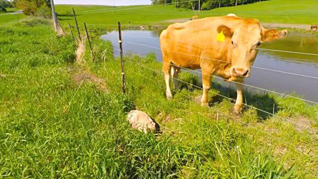 cowsmom3