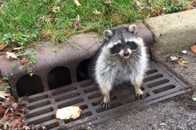 raccoon_e