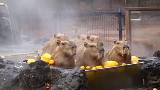 capybaraspa3