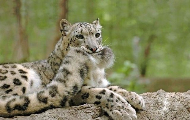snowleopards1_e