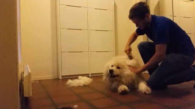 groomingsamoyed2_e